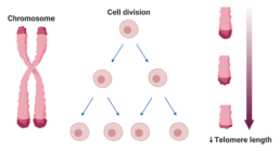 Figure 12. Chromosome with telomeres shown on the tips. Telomere length shortens as cells divide.