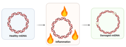 """Figure 10. Chronic inflammation occurs when the immune system is over-activated, or """"turned on"""" for too long and not able to rest, and it can cause damage to mitochondrial DNA (mtDNA), a marker of cellular aging."""
